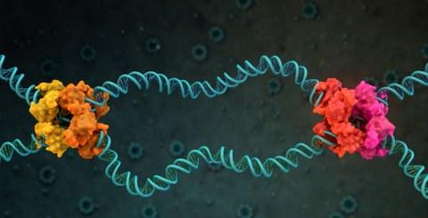 Zwei blau gezeichnete Doppelhelix vor schwarzem Hintergrund. An den zwei Schnittpunkten sind Knäuel in orange bzw. rosa eingezeichnet.