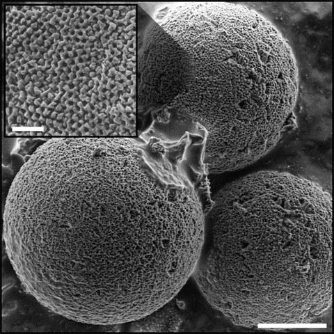 Mikroskopische Aufnahme der mineralisierten Calcit-Schalen einzelliger Algen