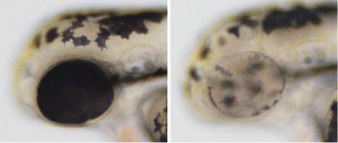 Mikroskopische Aufnahme von zwei Embryos im Vergleich nebeneinander.