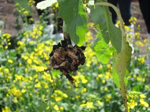 Verdickte Wurzel einer Rapspflanze, im Hintergrund blühener Raps