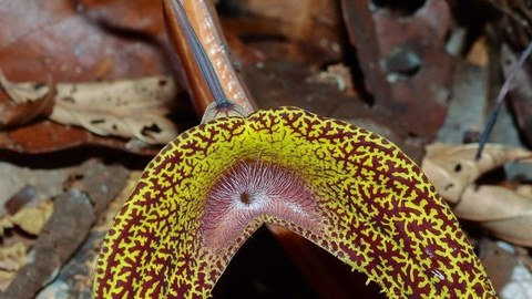 Blüte der Aristolochia wankeana