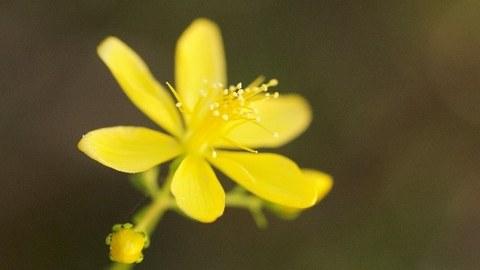 Eine Blüte vom Johanniskraut vor dunkelgrünem Hintergrund