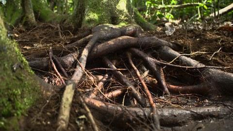 Verschlungene Wurzeln eines Mangrovenbaums.