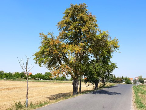 Trockene Bäume