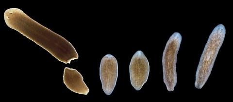 Regeneration Plattwurm
