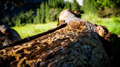 Ein von Borkenkäfern geschädigter Baum liegt auf einer Wiese.
