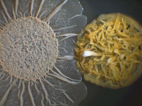 Stark vergrößertes Foto eines Heubazillus neben einem Streptomyzet.
