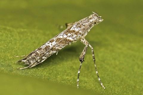 Eine Miniermotte (Caloptilia cuculipennella) sitzt auf einem Blatt.