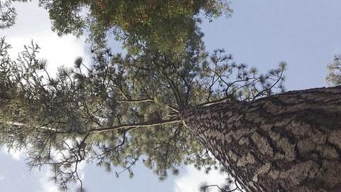 Ein Blick nach oben am Stamm eines Baumes entlang zeigt das Blätterdach des Baumes.