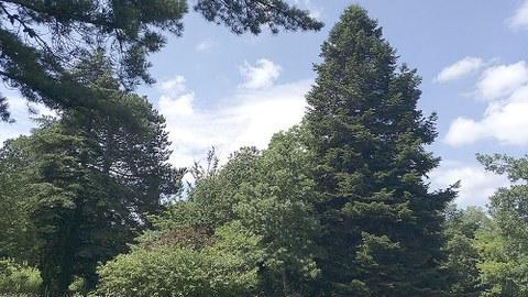 Zu sehen ist die hohe Konifere im Botanischen Garten der TU Dresden.