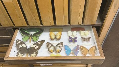 Ein Tableau mit Schmetterlingen aus der Sammlung Waldschutz der Forstbotanischen Sammlungen.