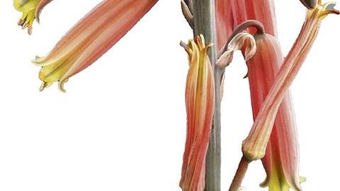 Der Blütenstand von Aloe uigensis.