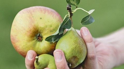 Jemand hält in der Hand einen Apfel und zwei Birnen.