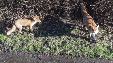 Ein Fuchspaar sucht am helllichten Tage nach Unterschlupf an der Nöthnitzer Straße 43.