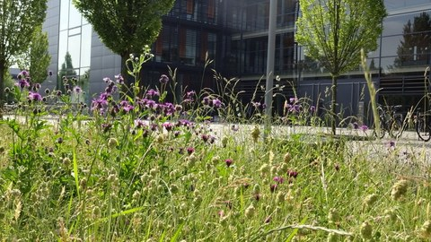 Wiese mit blühendem Klee vor dem Eingang des Biologie-Baus im Sommer